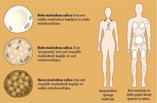 Rjavo maščevje: različne maščobne celice